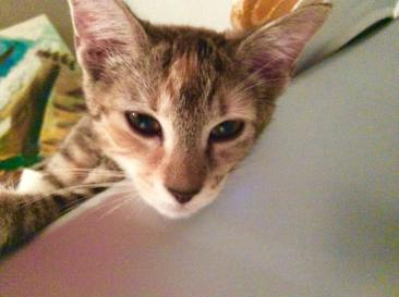 Boodgie foster cat 3